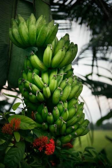 Local bananas, village walk, Chennamkary.