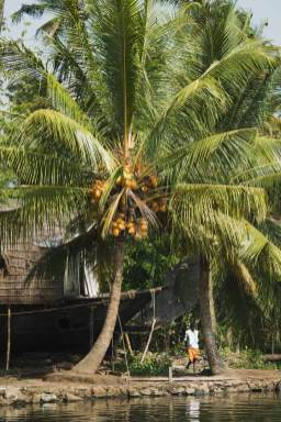 Houseboat and coconut tree, Kerala Backwaters.