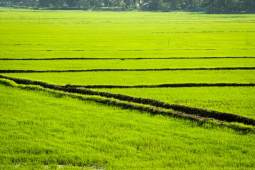 Rice field in Alleppey, Kerala backwater.