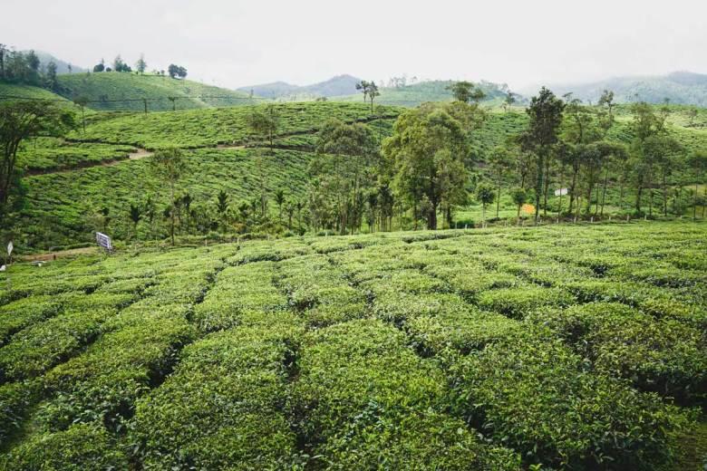 Tea plantation, Kerala, South India.