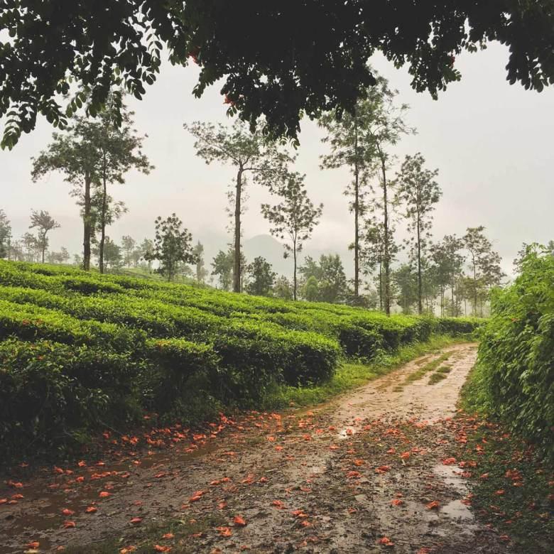 Tea fields near the Turmerica Resort