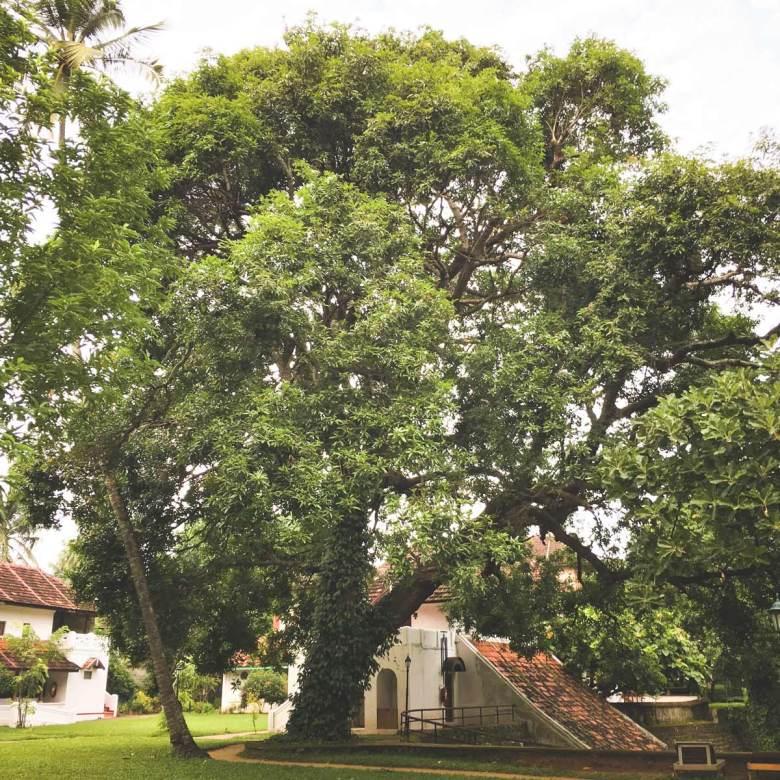 Old growth mango tree