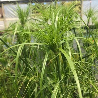 Image of Cyperus papyrus