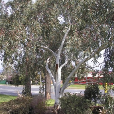 Image of Eucalyptus pauc.'Little Snowman'™