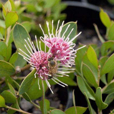 Image of Hakea 'Burrendong Beauty'
