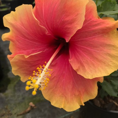 Image of Hibiscus 'Madang'