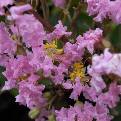 Image of Lagerstroemia 'Sioux'