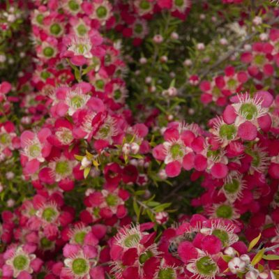 Image of Leptospermum 'Outrageous'PBR