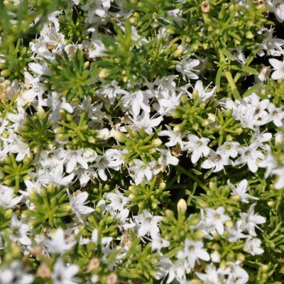 Image of Myoporum parvifolium 'Fine Leaf White'