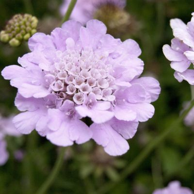Image of Scabiosa columbaria 'Samantha's Pink'