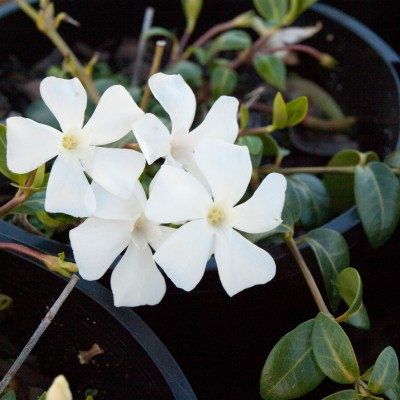 Image of Vinca minor alba 'Peri White'