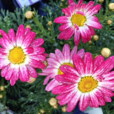 Image of Argyranthemum frutescens 'Peppermint'