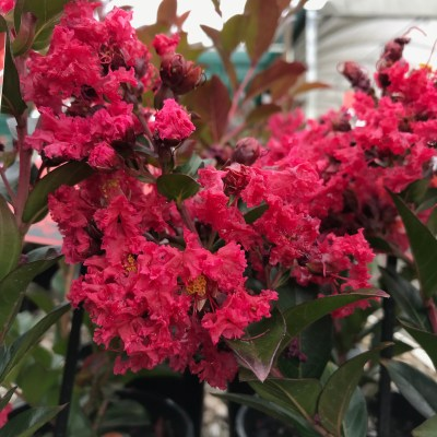 Image of Lagerstroemia 'Enduring Summer'
