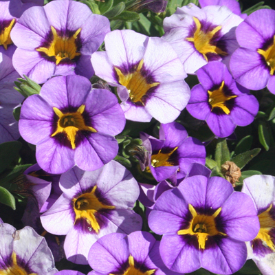 Image of Calibrachoa 'Superbells Evening Star'