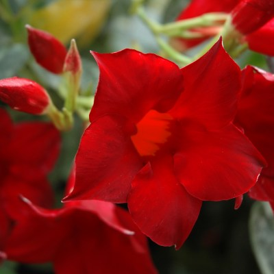Image of Mandevilla Aloha 'Dark Red'