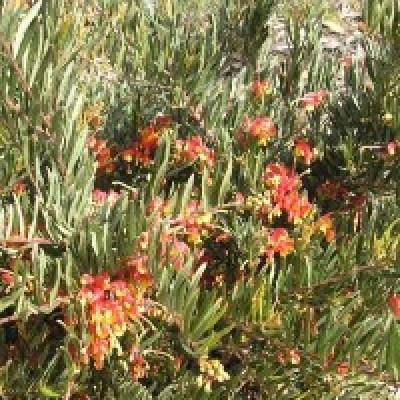 Image of Grevillea 'Bonnie Prince Charles'™