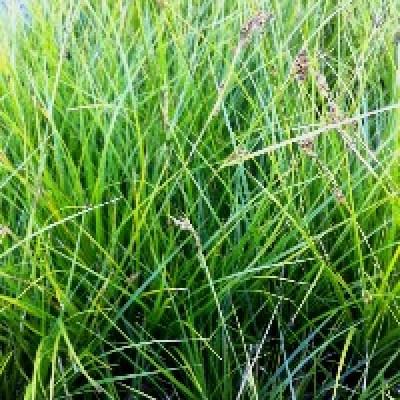 Image of Carex brunnea