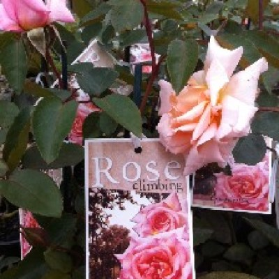 Image of Rose 'Compassion'