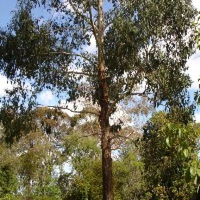 Image of Eucalyptus ovata