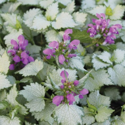 Image of Lamium maculatum 'Ghost'