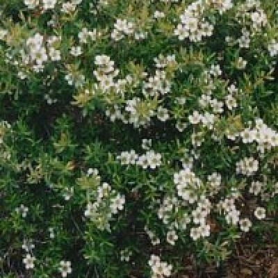 Image of Leptospermum 'Lemon Bun'™
