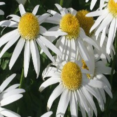 Image of Leucanthemum 'Little Angel'