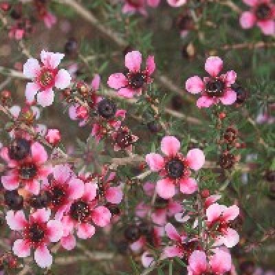 Image of Leptospermum 'Aussie Blossom® Naoko'PBR