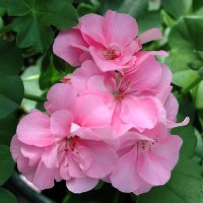 Image of Pelargonium peltatum 'Royal Light Pink'