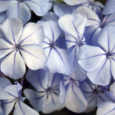 Image of Plumbago auriculata 'Royal Cape'