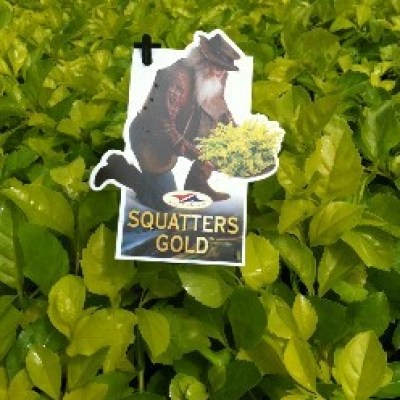 Image of Duranta 'Squatters Gold'