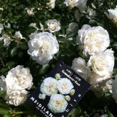 Image of Rose 'Meidiland White'    PBR