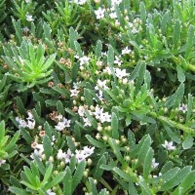 Image of OZBREED <b>Yareena™</b> <i>Myoporum parvifolium</i> 'PARV01' PBR
