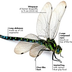 Dragonflies Eye Diagram Wiring Car Audio System Insect Photo 18