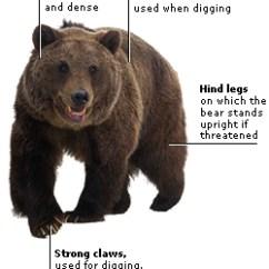 Bear Skull Diagram 2016 Dodge Ram 2500 Trailer Wiring Mammals