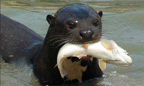 Image result for giant otter
