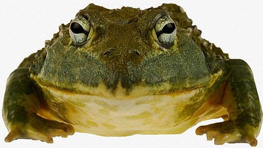 Image result for bullfrog