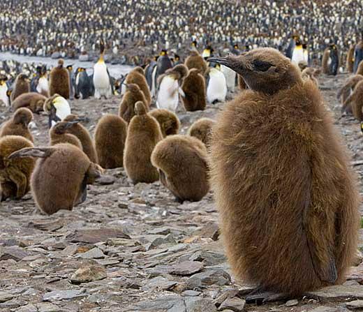 king penguin large successful