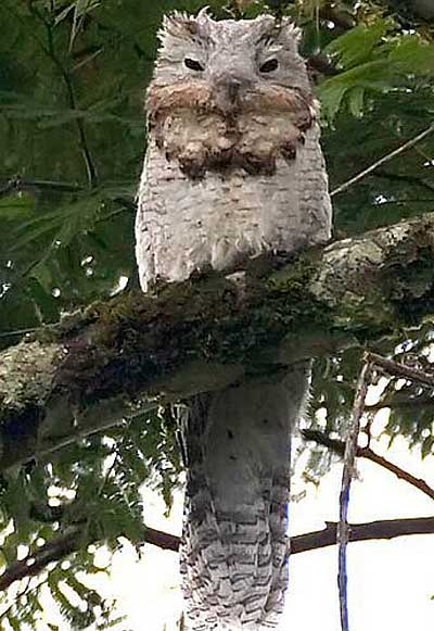 Great Potoo Clever Big Eyes Hidden In The Forest