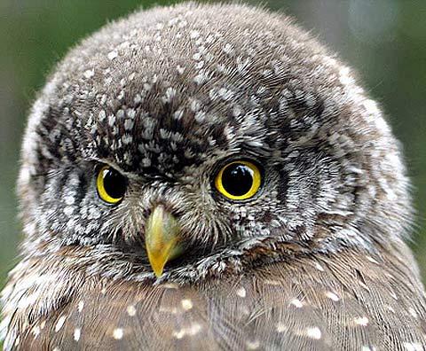 Image result for Owl Predator