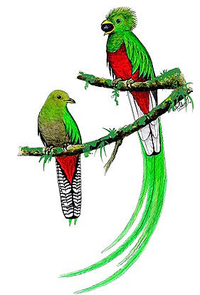 diagram types of feathers 04 dodge stratus wiring the resplendent quetzal - iconic bird americas | animal pictures and facts factzoo.com
