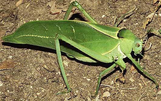 Giant Katydid LongLegged Green Leaf Imitator Animal
