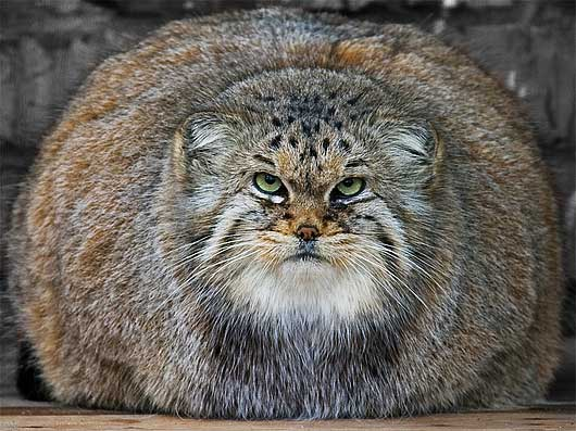 Image result for pallas cat
