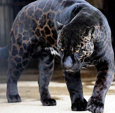 black panther jaguar
