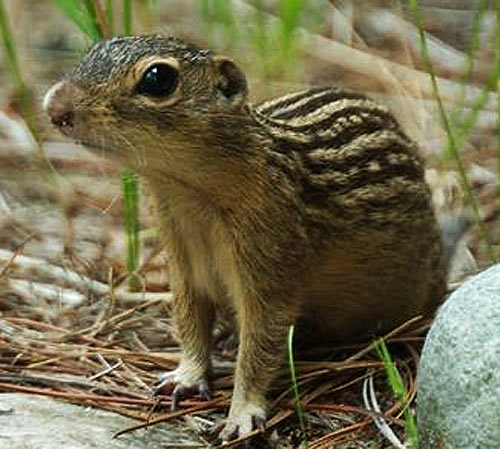 Image result for Ground squirrels images