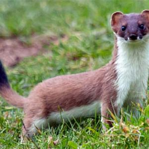 Orkney stoat project: £500,000 spent, two caught