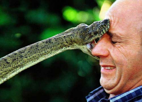 funny picture stressed out guy bit by snake on nose