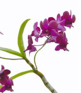 orchiddendrobium