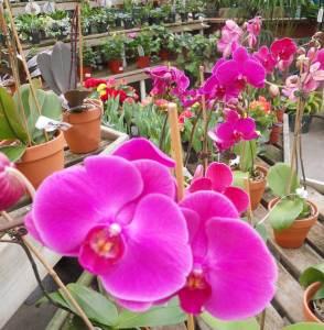 phaelanopsis_orchids_albany_ny.jpg