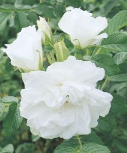 weeks blanc double rugosa