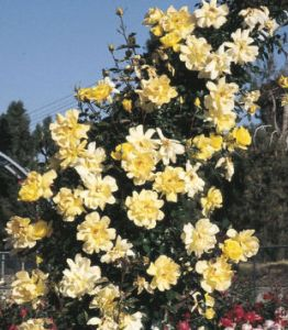 weeks golden showers rose climber